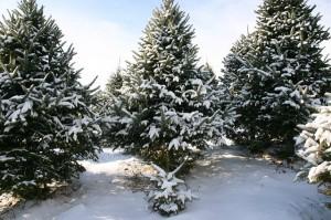 Balsam fir snowy