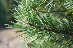 balsam_fir_tree_detail